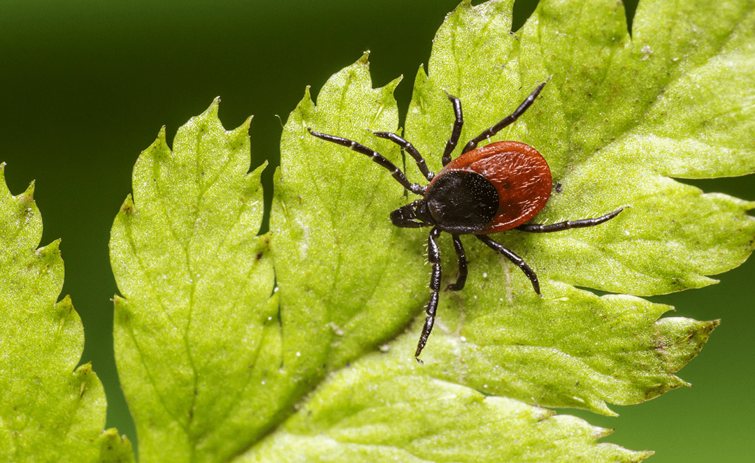 Over doctors' objections, Legislature mandates coverage for long-term Lyme disease treatment