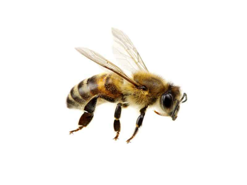 Allergists Concerned About Bee, Wasp Venom Extract Shortage