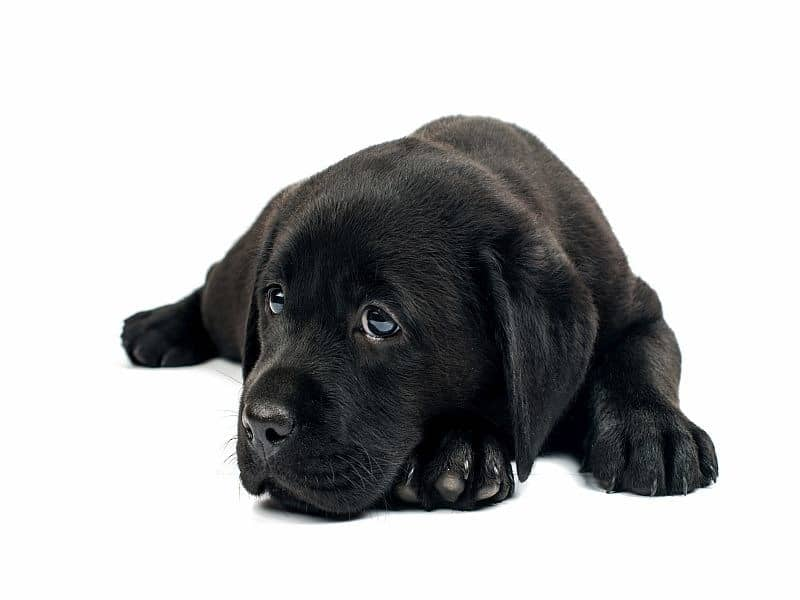 CDC: Brucellosis in Dogs Remains a Public Health Risk