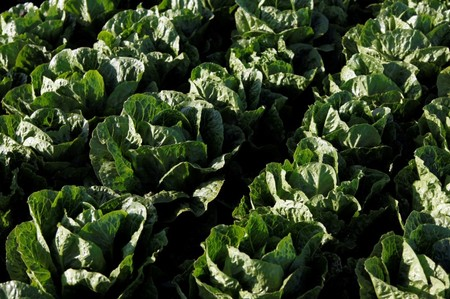 Ninety-eight now sick from romaine lettuce-linked E. coli: CDC