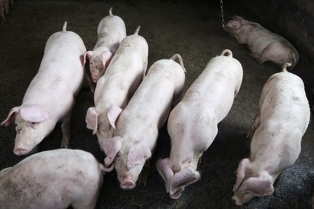 China cracks down on illegal hog slaughtering to contain African swine fever