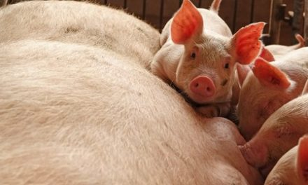 China's Shandong bans live hogs, products from African swine fever areas