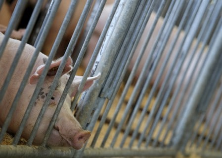 U.S. farmers, government fight risk of African swine fever
