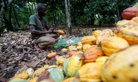 Heavy rain in Ivory Coast may boost cocoa output but raises disease fears