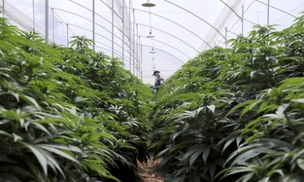 Brazil approves medical marijuana rules, blocks cannabis cultivation