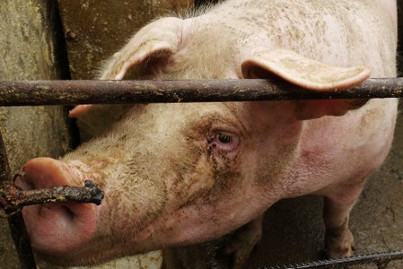 China urges crack down on concealing African swine fever: agriculture ministry