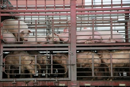 China reports new African swine fever outbreak in Guangxi region