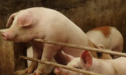 U.S. to begin testing sick, dead pigs for fatal hog virus ravaging China
