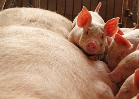 China reports African swine fever outbreak in Hubei province