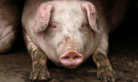 African swine fever hits sixth pig farm in Bulgaria