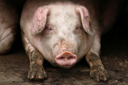 Bulgaria to compensate owners who cull pigs to help stamp out swine fever