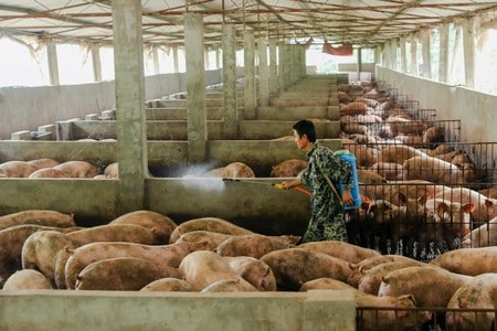 China's Sichuan province to remove restrictions on pig farming